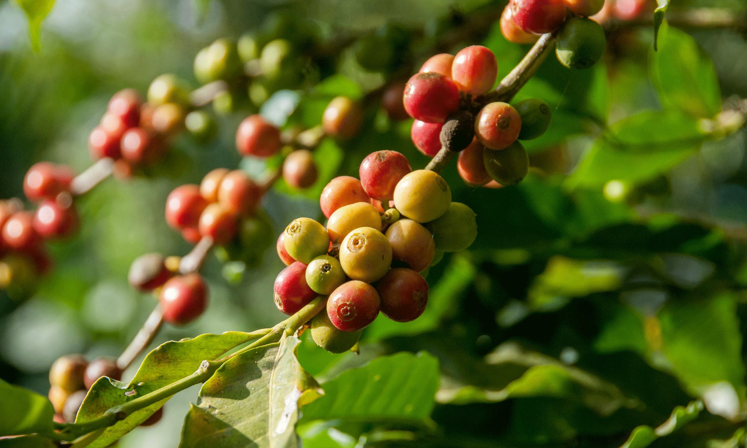 Koffieproductie: van zaadje tot koffie (3)